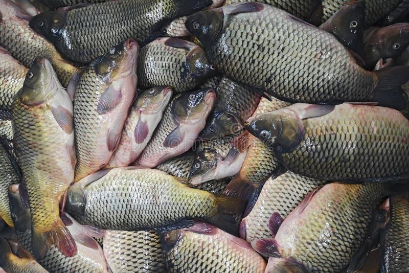 Carpa dos peixes frescos O fundo de peixes pequenos travou na carpa crucian do rio Piscicultura, exploração agrícola para a criaç imagem de stock