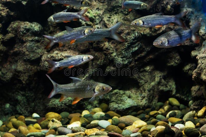 Carpa enojada, pescado del sultán foto de archivo