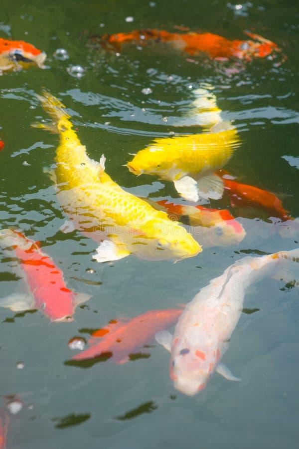 Carpa giapponese di koi in uno stagno immagine stock libera da diritti