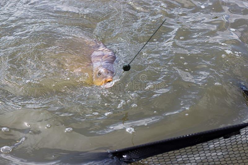 Carpa grande em uma linha de pesca fotografia de stock