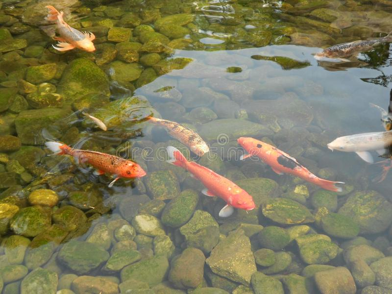 Carpa Koi Fish swimming in a pond stock images