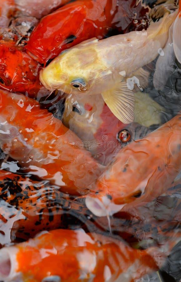 A carpa ou os peixes extravagantes de Koi fecham-se acima foto de stock royalty free