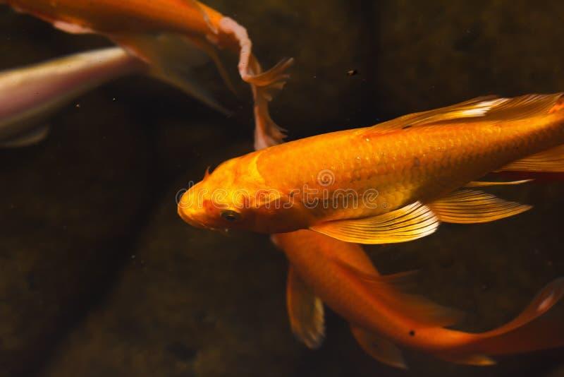 Pesce della carpa di nuoto isolato su fondo bianco for Carpa pesce rosso