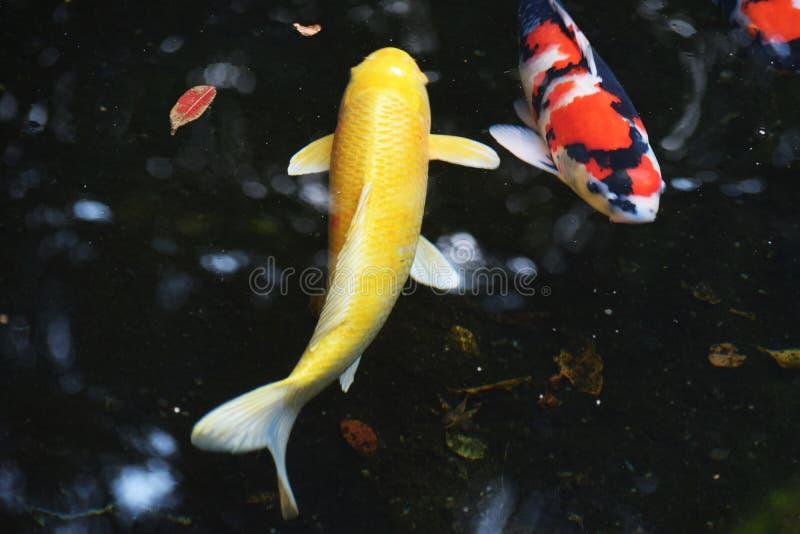 carpa Vari-colorida fotos de stock