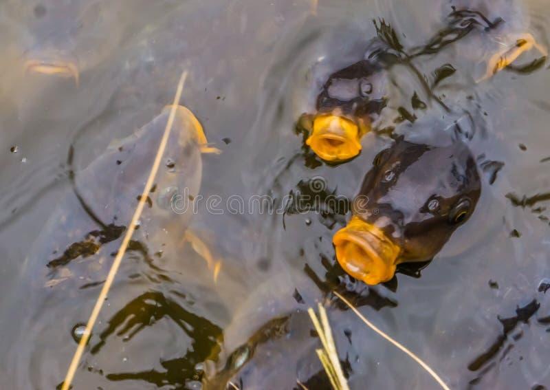 Carpas comunes que nadan en el agua, carpas europeas que vienen sobre el agua con sus bocas, pescados hambrientos, pescados popul fotografía de archivo