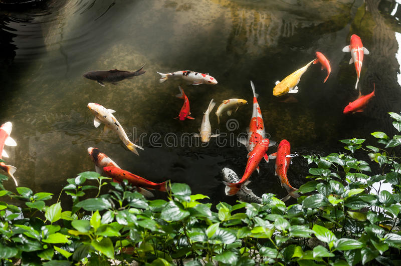 Carpas extravagantes ou Koi na lagoa do jardim imagem de stock