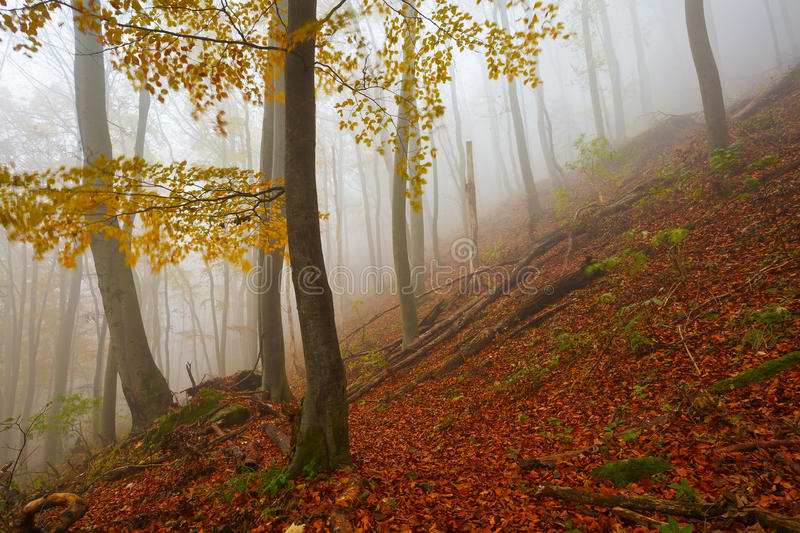 Carpathian beech forest, Slovakia. Primeval beech forest nature reserve on a foggy day, Slovakia royalty free stock photography