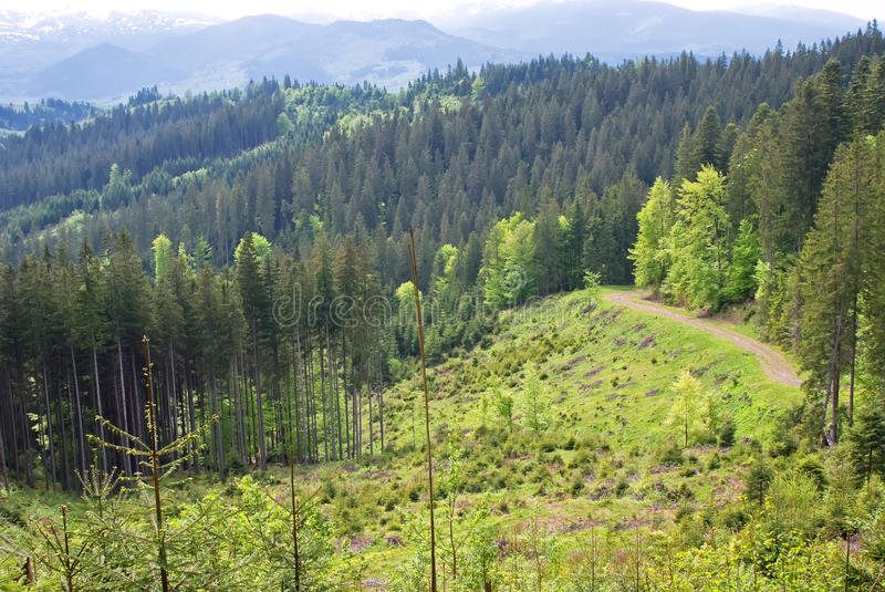 Carpathian beech forests royalty free stock image