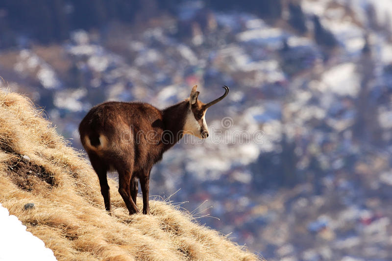 Carpathian chamois and Busteni city stock image