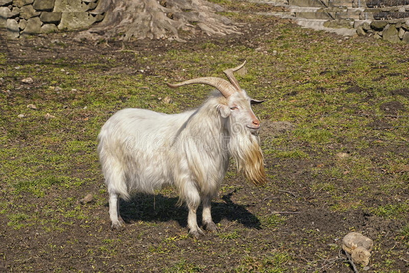 The Carpathian goat. Breed also known by the name, Karpacka or Carpatina is found in the southeastern part of Europe royalty free stock image