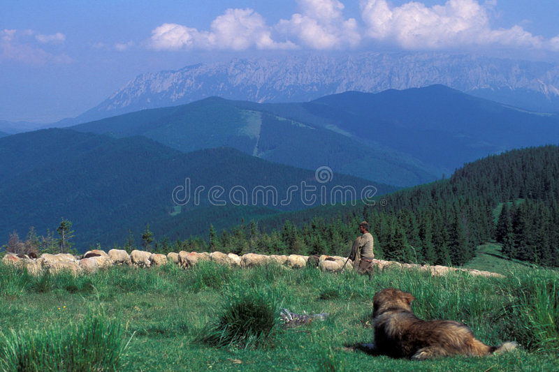 Carpathian shepherd. Proud shepherd with sheep, Fagaras Mountains, Southern Carpathians, Romania stock images