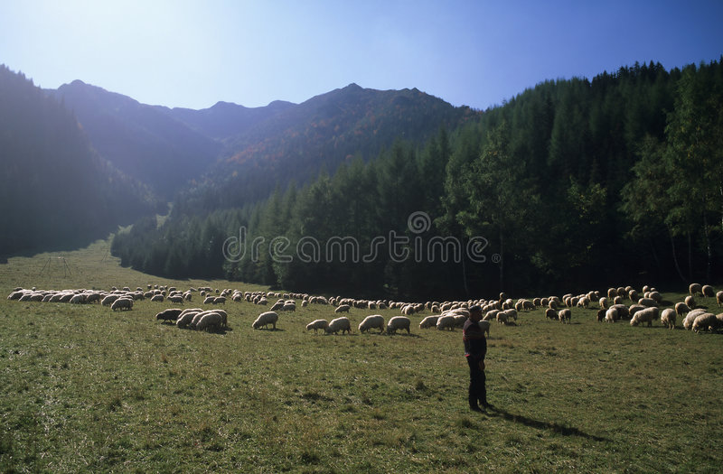 Carpathian shepherd. With sheep, Western Tatra Mountains, Poland royalty free stock photos