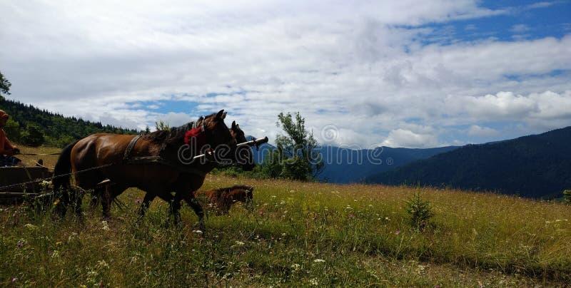 Carpathians, konie zaprzęgać fura, źrebię zdjęcia royalty free