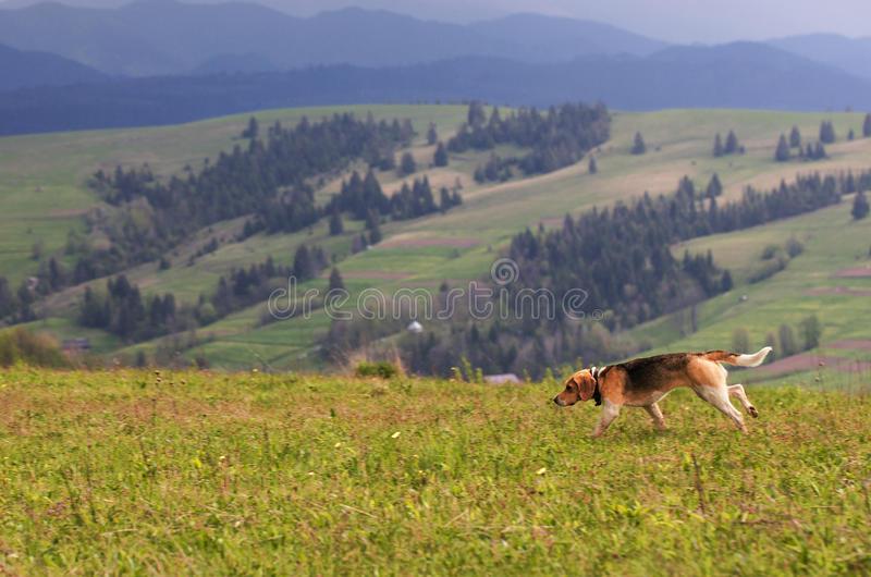 Carpathians. Mountain landscape. The hunting dog takes the trail. Hunting dog runs along the mountainside against the backdrop of the carpathian mountain royalty free stock photo