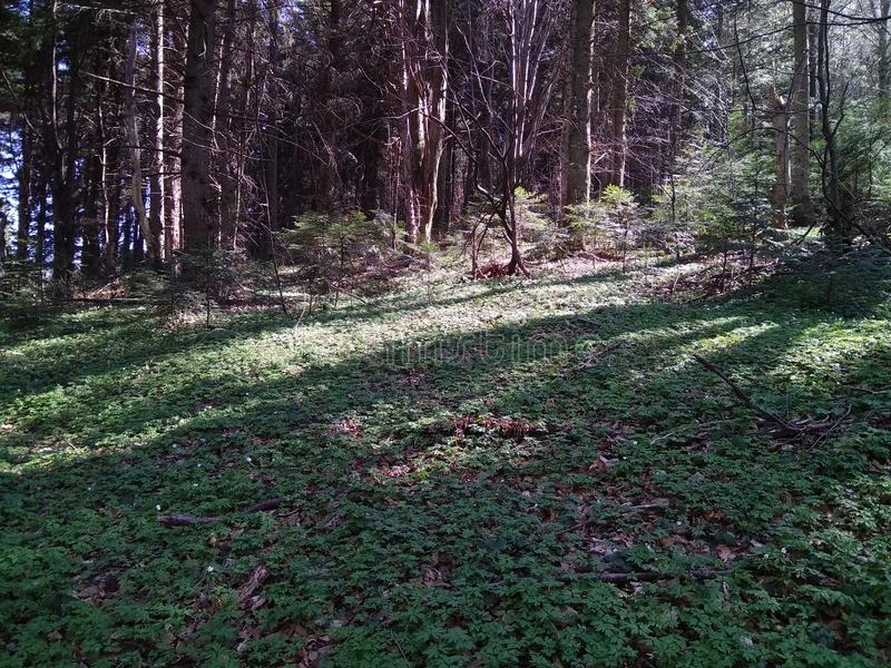 Carpathians skog royaltyfria foton