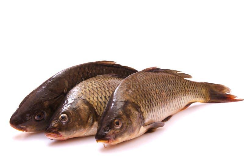 Carpe de trois poissons frais photographie stock