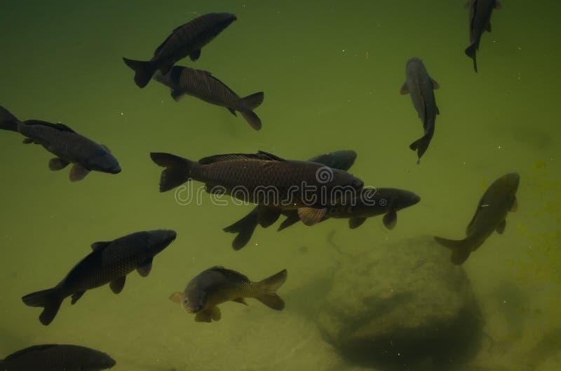 Carpe nell'immagine subacquea fotografia stock libera da diritti