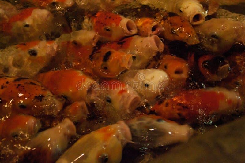 Carpe royale dans un étang artificiel multiplication des poissons ornementaux un grand troupeau du poisson rouge dans l'étang images libres de droits