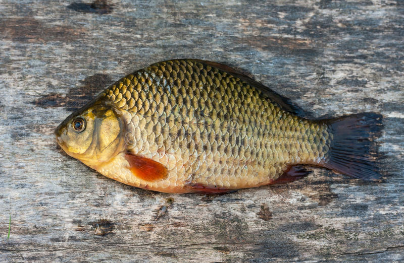 Carpe vivante de poisson d 39 eau douce photos stock image for Poisson carpe