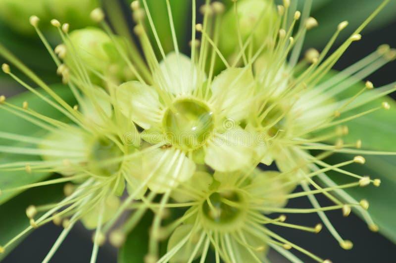 Carpel πράσινο στοκ φωτογραφία με δικαίωμα ελεύθερης χρήσης