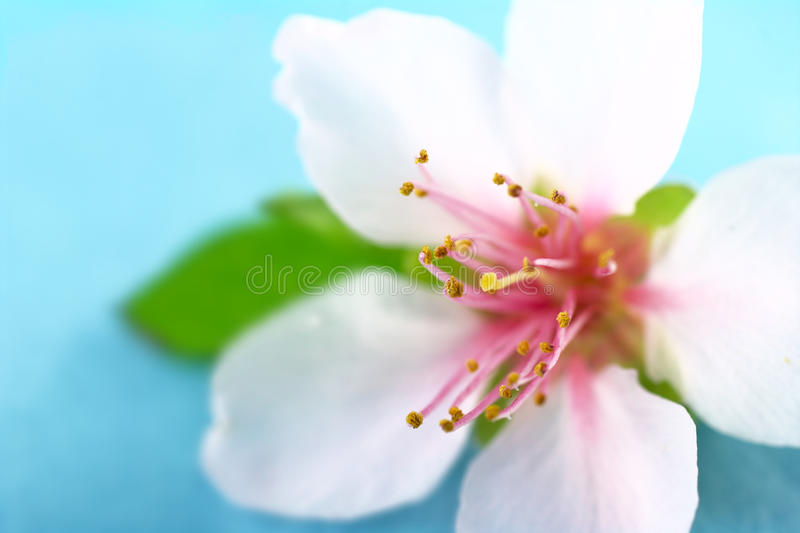 Carpel of a Peach Blossom stock photo