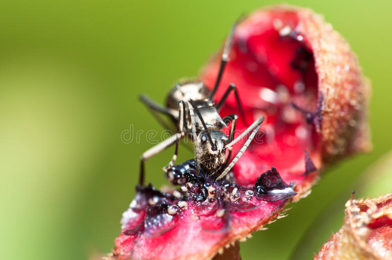 Carpenter Ant. A black carpenter ant feeding on nectar royalty free stock image