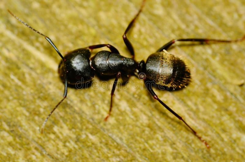 Carpenter Ant. Closeup macro shot crawling along a wooden plank royalty free stock images