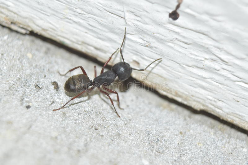 Carpenter Ant. A Carpenter Ant near a wood wall stock photo