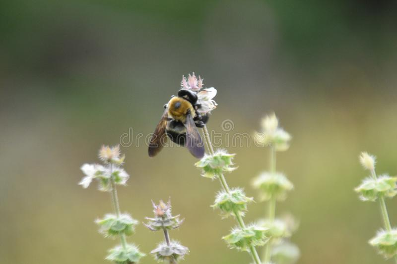 Carpenter Bee on Basil Blossoms 1 stock photos