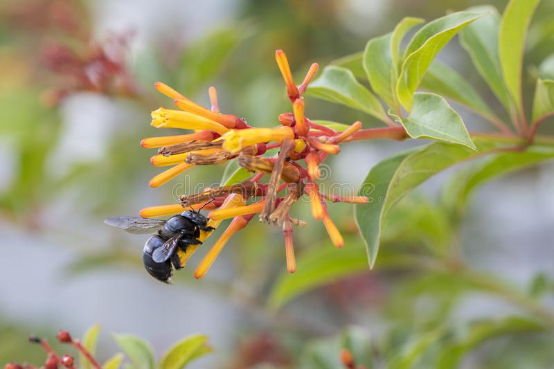 Carpenter Bee On A Flower. Carpenter Bee resting on a Hummingbird Bush royalty free stock photography