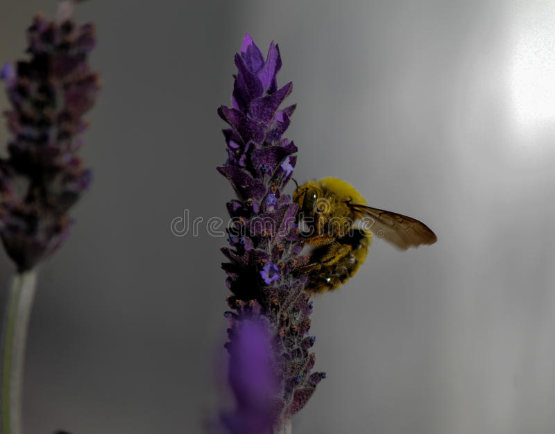 Carpenter bee on purple lavender flower - detailed close up royalty free stock photography