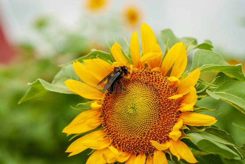 Carpenter bee stealing nectar from sunflower royalty free stock photography
