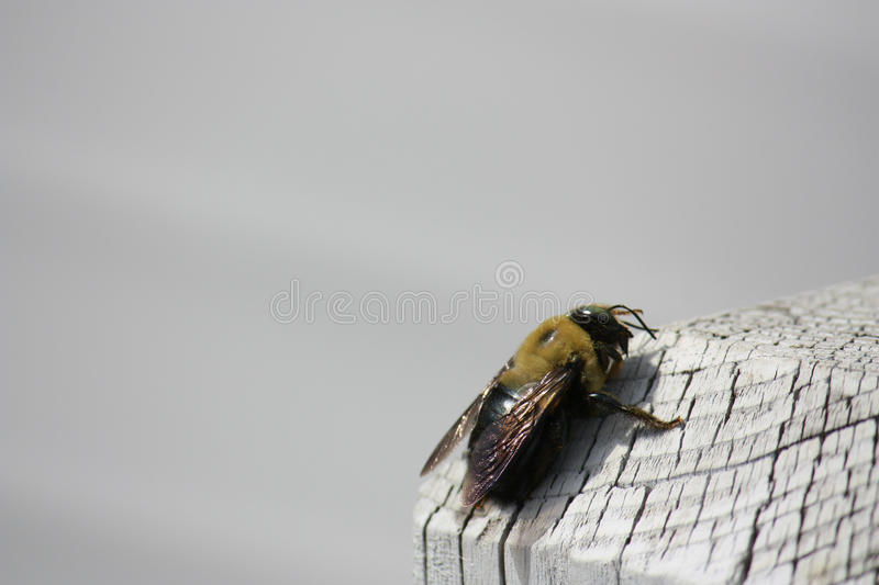 Carpenter bee on White wood post. A Carpenter bee on a white wooden post outside in the spring stock photos
