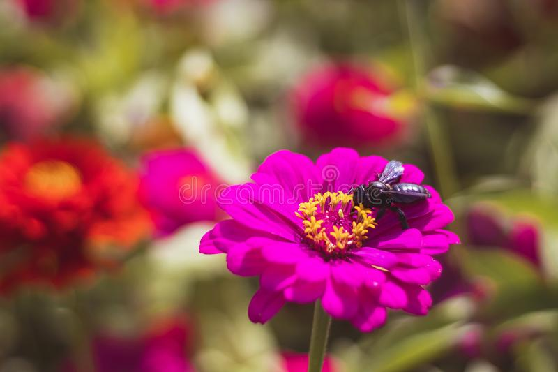 Bee on pink Zinnia flower royalty free stock photography