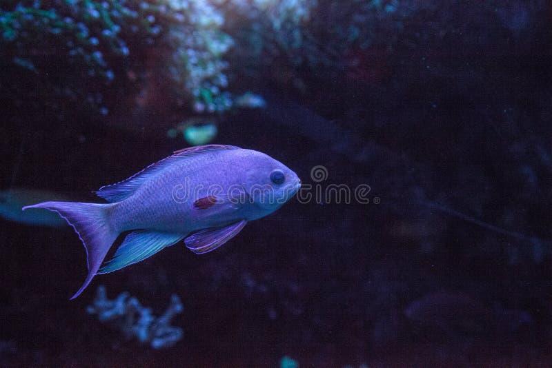 Carpenteri cor-de-rosa de Paracheilinus do wrasse do pisca-pisca imagens de stock