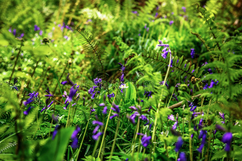 The carpet of blue flowers in the forest on Spring. royalty free stock photos