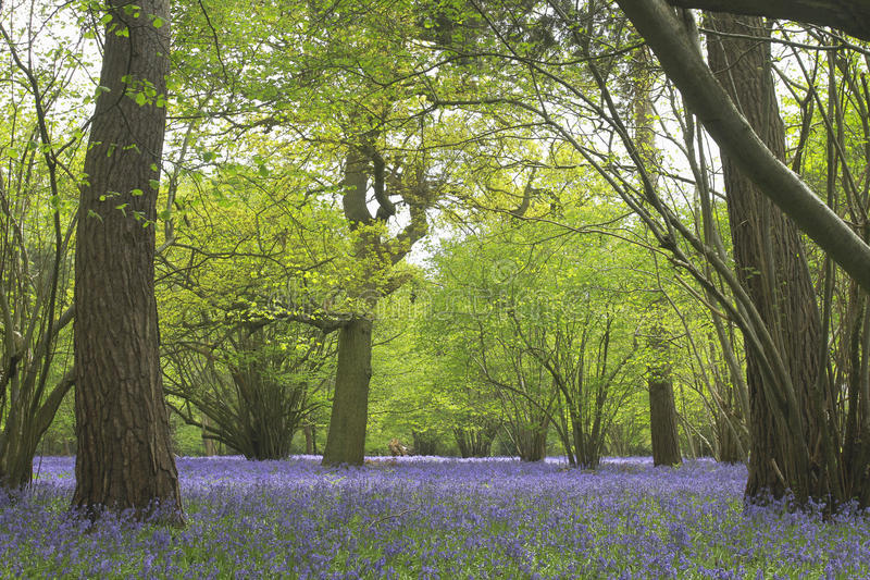 A carpet of bluebells in spring. These lilac blue wildflowers are symptomatic of British woodland in late spring. Britain contains more than 50% of the global stock image