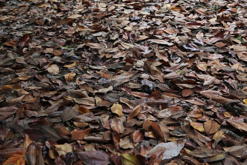 A carpet of brown fallen leaves. fallen leaves lie on the ground in the grass. royalty free stock photography