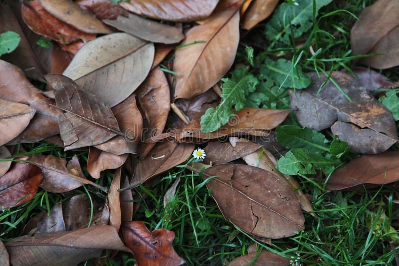A carpet of brown fallen leaves. fallen leaves lie on the ground in the grass. royalty free stock image