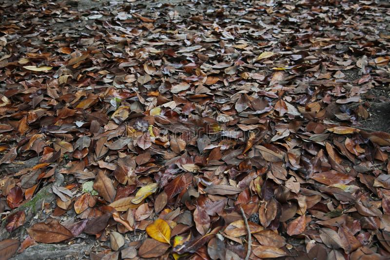 A carpet of brown fallen leaves. fallen leaves lie on the ground in the grass. royalty free stock photo
