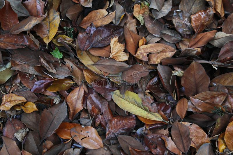 A carpet of brown fallen leaves. fallen leaves lie on the ground in the grass. stock photos