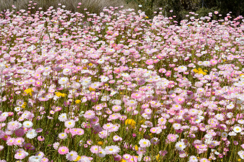 A carpet of daisies in Kings Park Perth Australia. A carpet of pink and white daisies in Kings Park Perth Australia royalty free stock photography