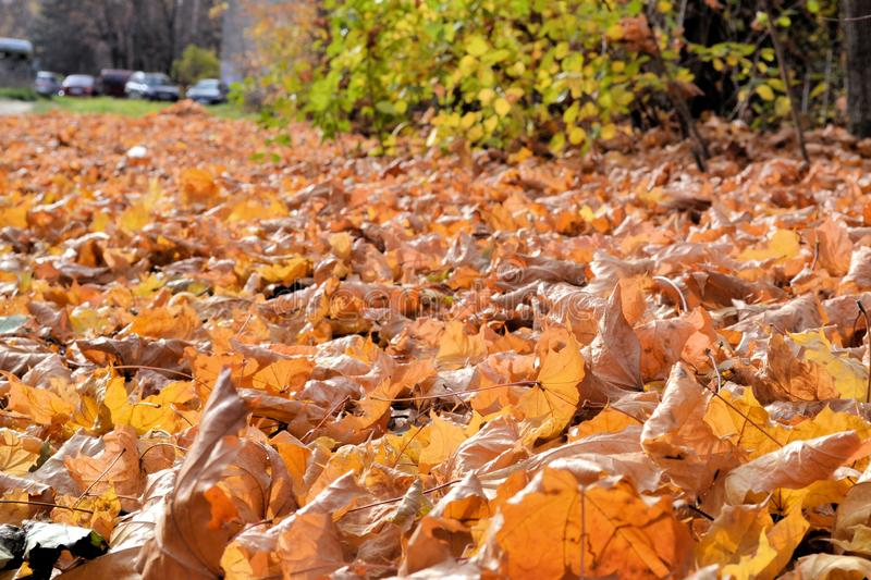 Carpet from dry leaves. Beautiful autumn background. sunny day stock photography