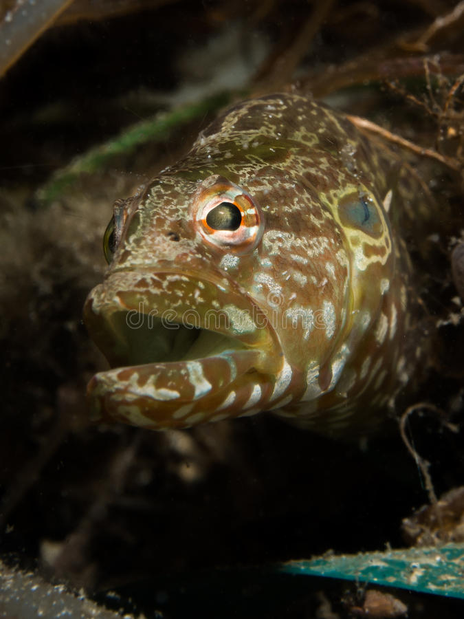 Free Carpet Eel Blenny - Congrogadus Subducens Royalty Free Stock Images - 32982389