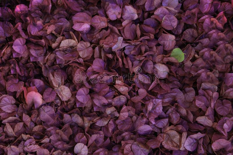 Carpet of Fallen Bougainvillea Flower Petals stock photography
