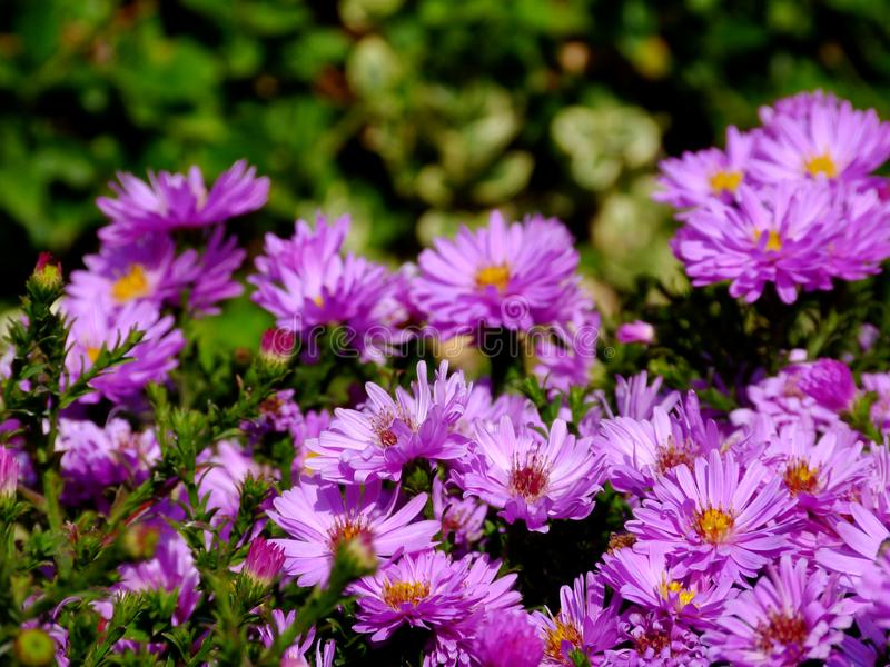 Pretty purple daisies in bright autumn day light with blurry background. Carpet full of pretty purple daisies in bright autumn day light in selective focus stock photo
