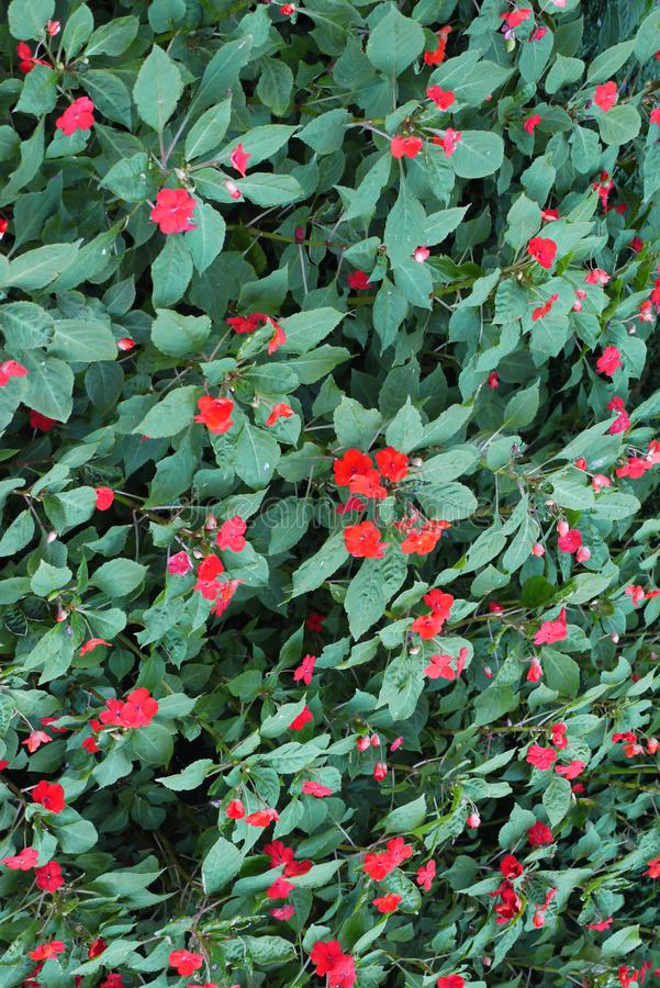 Carpet of green leaves with rare flowers with red petals. A beautiful picture of the wild. royalty free stock images