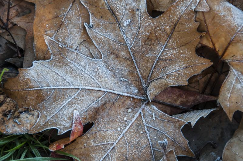 Carpet of leaves. Fallen on the ground and covered with ice royalty free stock photo