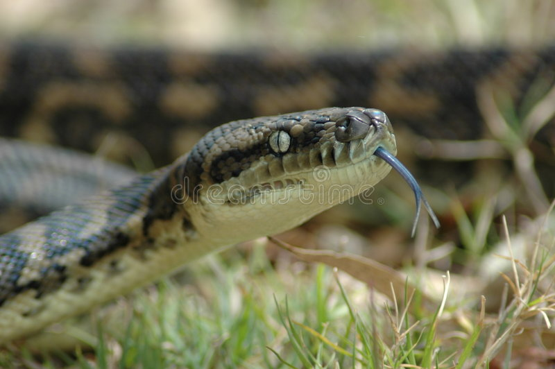 Download Carpet Python stock photo. Image of pattern, curled, head - 282196