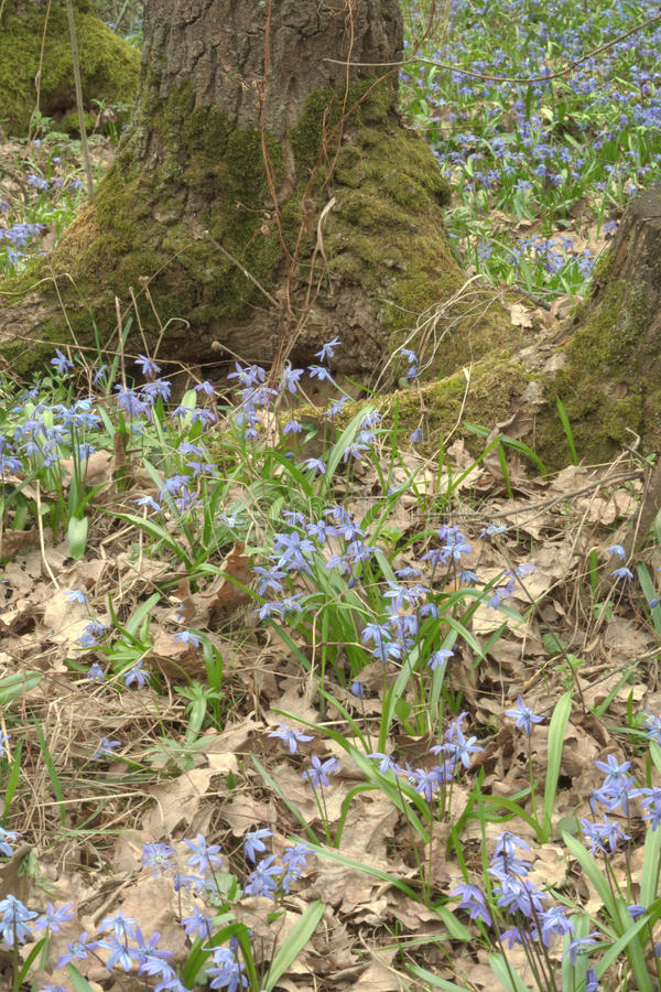 Carpet Siberian Scilla around mossy roots oak. Verdant grass and dry leaves of spring royalty free stock photo